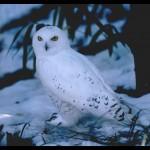 snowy-owl-white
